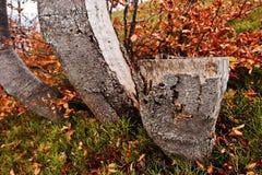 Stump of beerch tree on autumn forest. Stock Photo
