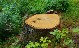Stump Royalty Free Stock Images