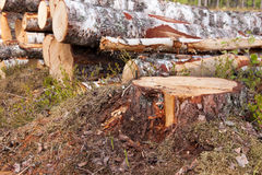 Stump of a birch tree Stock Images