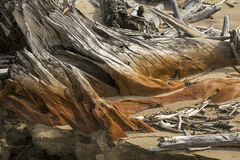 Stump of bleached driftwood embedded in sand at Flagstaff Lake. Stock Image