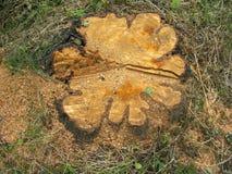 Stump-chamomile Royalty Free Stock Images