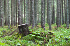 Stump in the coniferous forest. Overgrown with grass stock image
