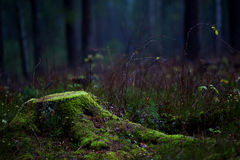 Stump. Covered with moss in the forest Stock Images