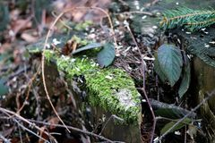 The stump covered with moss, leaves and sawdust. The stump covered with moss, leaves, sawdust and needles. Also there are some branches Royalty Free Stock Image