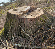 Stump of a cut thick tree Royalty Free Stock Photography