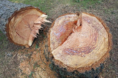 Stump of cut tree. Stub of the aged, cut tree Royalty Free Stock Photography