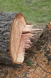 Stump of cut tree Stock Image