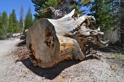 Stump of a cut tree, California. Stump of a cut tree, California, USA Royalty Free Stock Photo