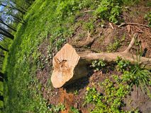 Stump of the cut tree on the edge of the forest. With wide angle view stock photos