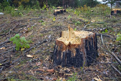 Stump of the cut tree. Stock Photography