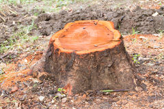 Stump of a cut tree. Stump of a freshly cut tree royalty free stock photography