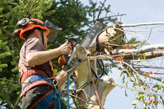 Stump cutting. Man wearing harness, hard-hat and goggles using a chainsaw to cut the last of a tree royalty free stock photo