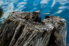 Stump dead Royalty Free Stock Photography