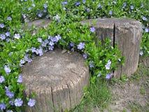 Stump en el jardín en medio de las flores azules delicadas Foto de archivo