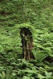 Stump in fagus forest, Shirakami Sanchi. Aomori, Japan royalty free stock image