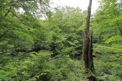 Stump in fagus forest, Shirakami Sanchi. Aomori, Japan royalty free stock photos