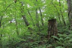 Stump in fagus forest, Shirakami Sanchi. Aomori, Japan stock photo