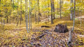 Stump in a Fall Forest Royalty Free Stock Image