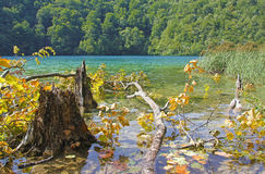 Stump and fallen tree in a lake Stock Photography