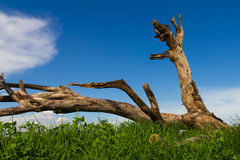 Stump fell dead Royalty Free Stock Photo
