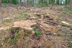 Stump of a felled tree in the forest. Closeup of a thick stump of a tall felled tree in the foreground of a large forest. Tree bark, twigs and branches surround stock photography