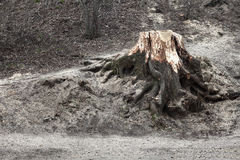 The stump of a felled tree in park Stock Image