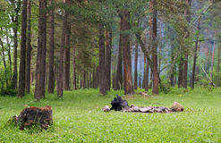 Stump and fireplace in a forest. Royalty Free Stock Images