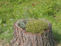 Stump flowerpot with red rose lavender briar and conifer Stock Photography