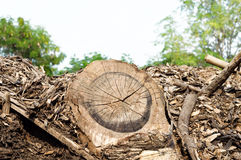 Stump in the forest. Destruction of trees for the needs of mankind lead to environmental disaster Royalty Free Stock Images