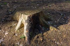 The stump in the forest on earth is illuminated by the sun royalty free stock photo