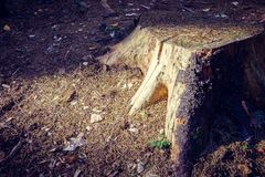 The stump in the forest on earth is illuminated by the sun royalty free stock image