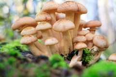 On the stump in the forest. A group of mushrooms growing on a stump Royalty Free Stock Images