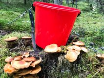 Stump in the forest with a lot of beautiful tasty edible mushrooms with a red bucket and a sharp knife in the woods royalty free stock photo
