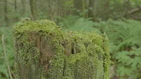 Stump in the forest. Old tree stump covered with moss. Stump green moss spruce pine coniferous tree forest park wood. Root bark sunlight background stock footage