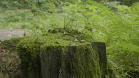 Stump in the forest. Old tree stump covered with moss. Stump green moss spruce pine coniferous tree forest park wood. Root bark sunlight background stock video footage