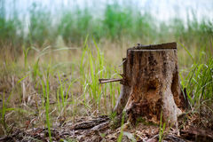Stump in the forest. Old tree  covered with moss. pine Royalty Free Stock Photos