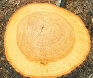 Stump From A Freshly Cut Down Tree Royalty Free Stock Photos