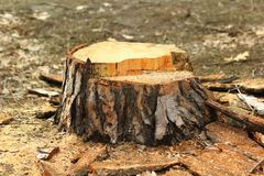 Stump after a freshly cut pine tree. Forestry royalty free stock photo
