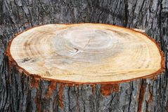 Stump of a freshly cut tree Stock Photos