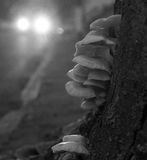 Stump Fungus. Fungus growing on an urban roadside tree stump Royalty Free Stock Photos