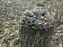 stump geada fotografia de stock