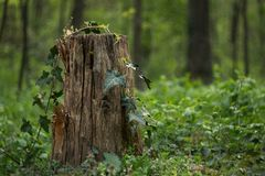 A stump in a green forest stock images