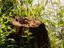 Stump and green grass on the Lake royalty free stock images