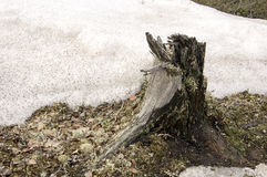 Stump on the ground and snow. Early spring Stock Photos