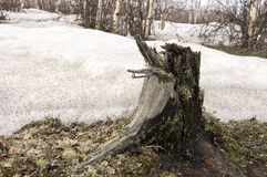 Stump on the ground and snow. Early spring Royalty Free Stock Photography