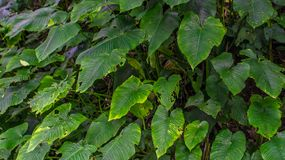 Stump of heart shaped green leaves Stock Photography