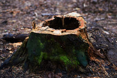 Stump with a hole ,rotten, standing in a Park or in a forest with pine trees Royalty Free Stock Photography