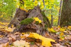 Stump invaso da muschio verde nella foresta in autunno Fotografia Stock Libera da Diritti