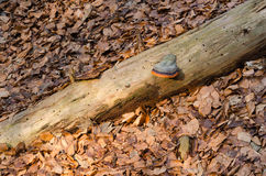 Stump in the leafs. With polypore Stock Photography