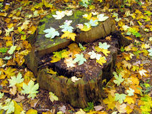Stump with leaves Stock Photo